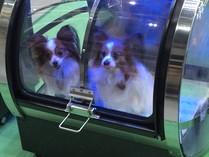 小型犬用酸素カプセルO2-PETに入っている2匹のパピヨン