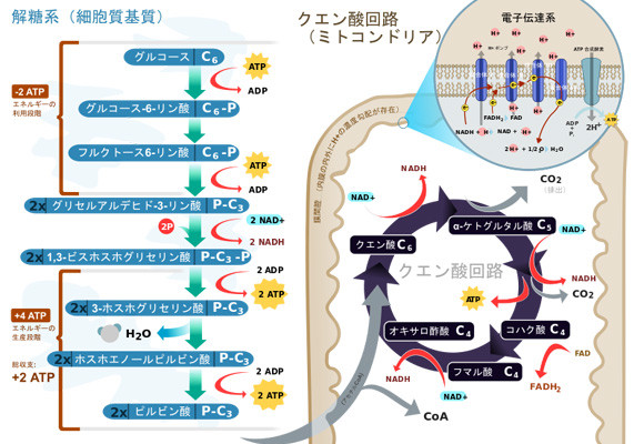 代謝過程のイラスト