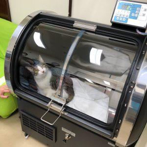 小型犬用酸素カプセルO2-PETに猫が入っている画像